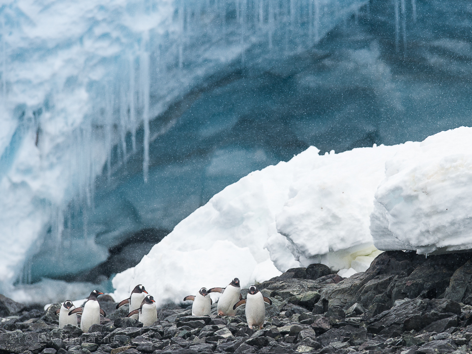Gentoos in front of a glacier - D4s, 400mm, 1/1600, f/8 @ ISO 1000