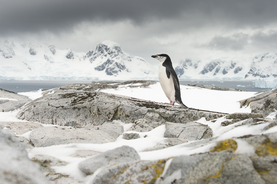 Chinstrap penguin on top of the mountain - D4s, 70-200mm, 1/1250 sec, f/11 @ ISO 800
