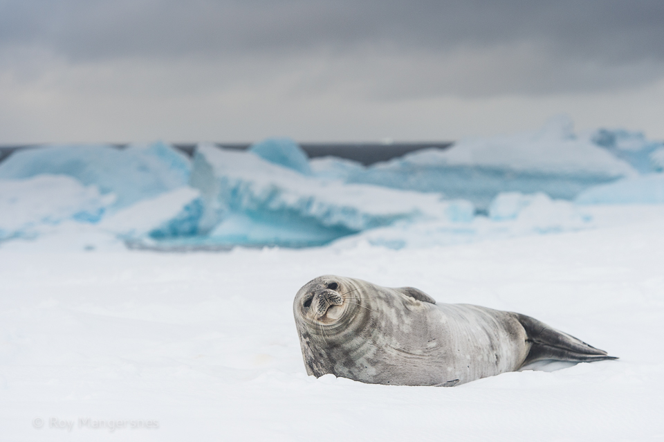 Weddell seal resting on Astrolab Island - D4s, 70-200mm, 1/1600 sec, f/4,5 @ ISO 500
