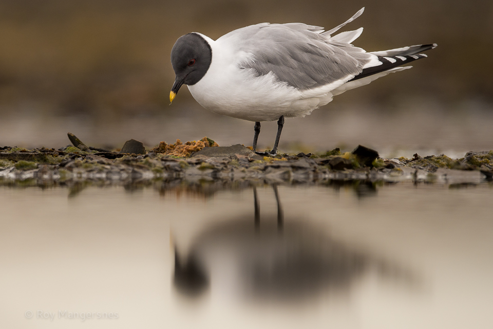 Sabine's gull at Lågøya - D4, 800mm, 1/2000 sec, f/6,3 @ ISO 800