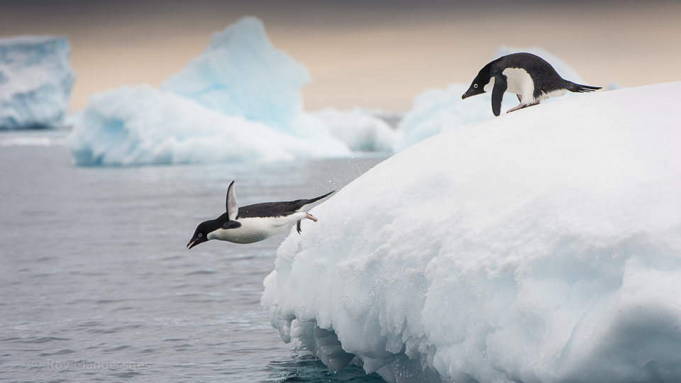 Adelie penguins playing on an iceberg - D810, 70-200mm, 1/640 sec, f/8 @ ISO 400