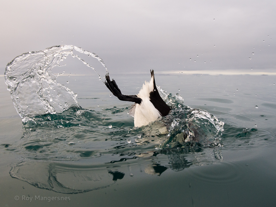 Guillemot diving - D4, 24-70mm, 1/1000 sec, f/8 @ ISO 1250
