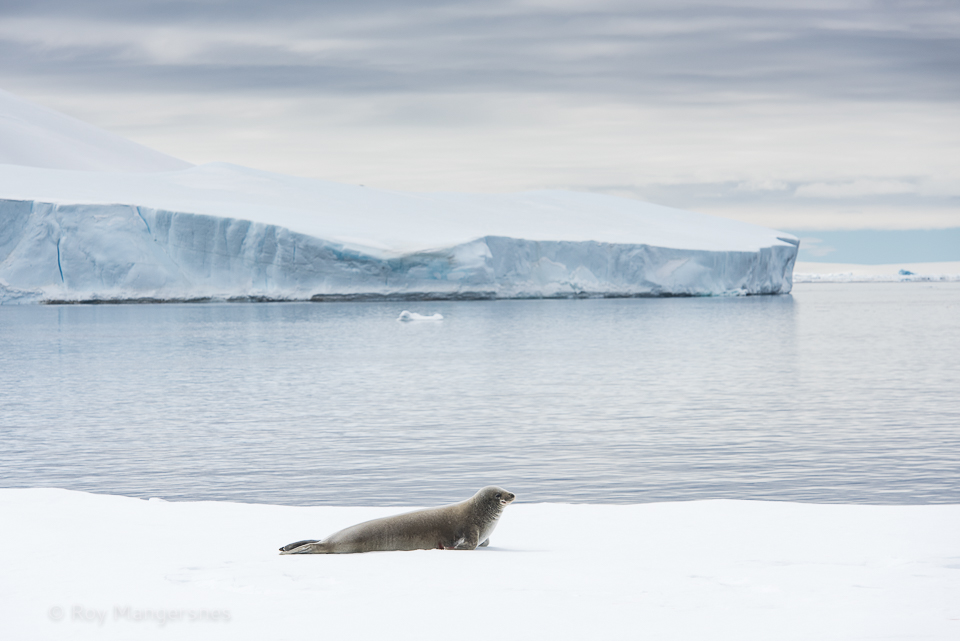 Crabeater seal in the Weddell Sea - D810, 70-200mm, 1/800 sec, f/8 @ ISO 320