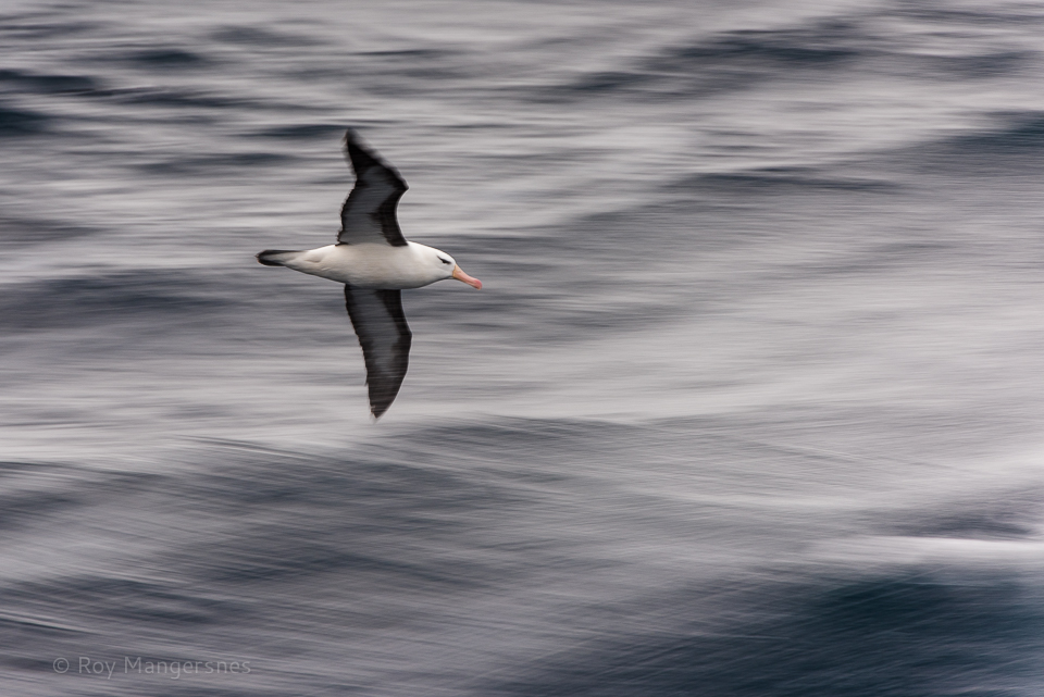 Black-browed albatross surfing the stern waves - D810, 70-200mm + TC14 III, 1/30 sec, f/10 @ ISO 200