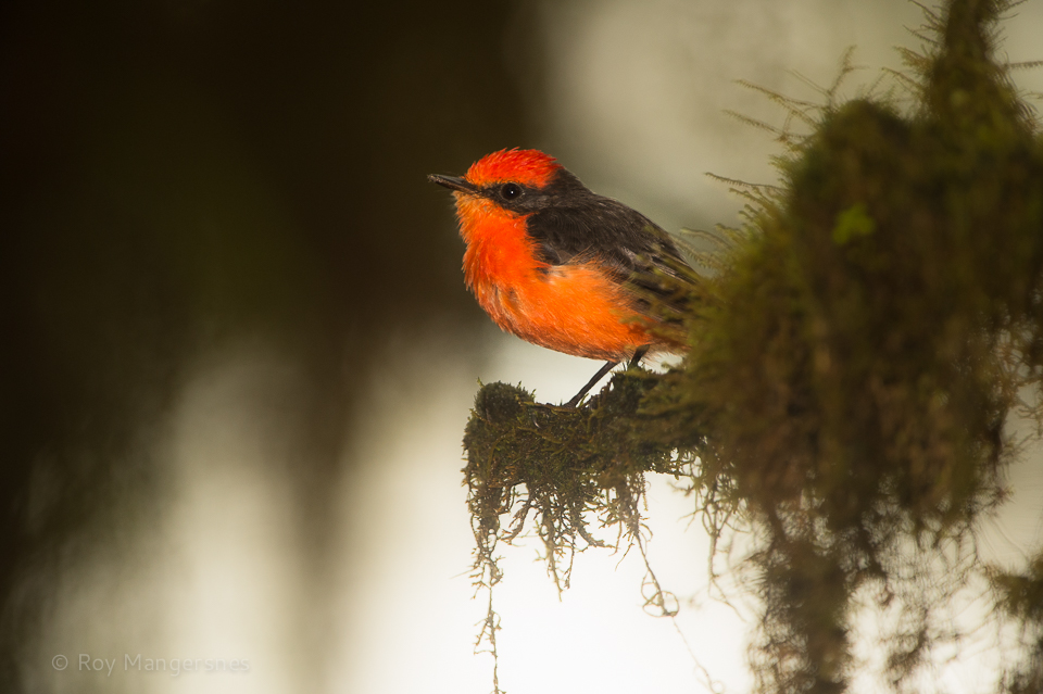 Vermillion flycatcher in the forest - D4, 400mm + TC14, 1/500 sec, f/4, ISO1250 and flash