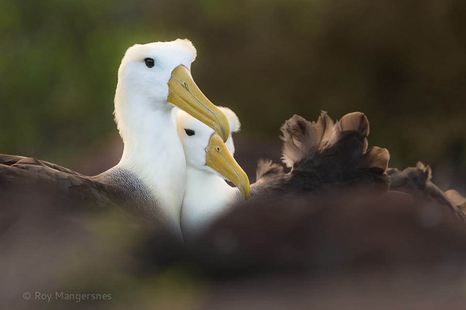Waved albatross pair courting - D4, 400mm, 1/2000 sec, f/4 @ ISO 800