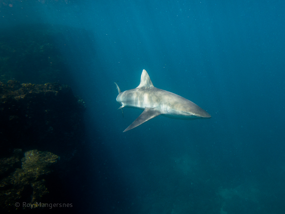 Galapagos shark - D800, 16-35mm, 1/400 sec, f/8 @ ISO 800
