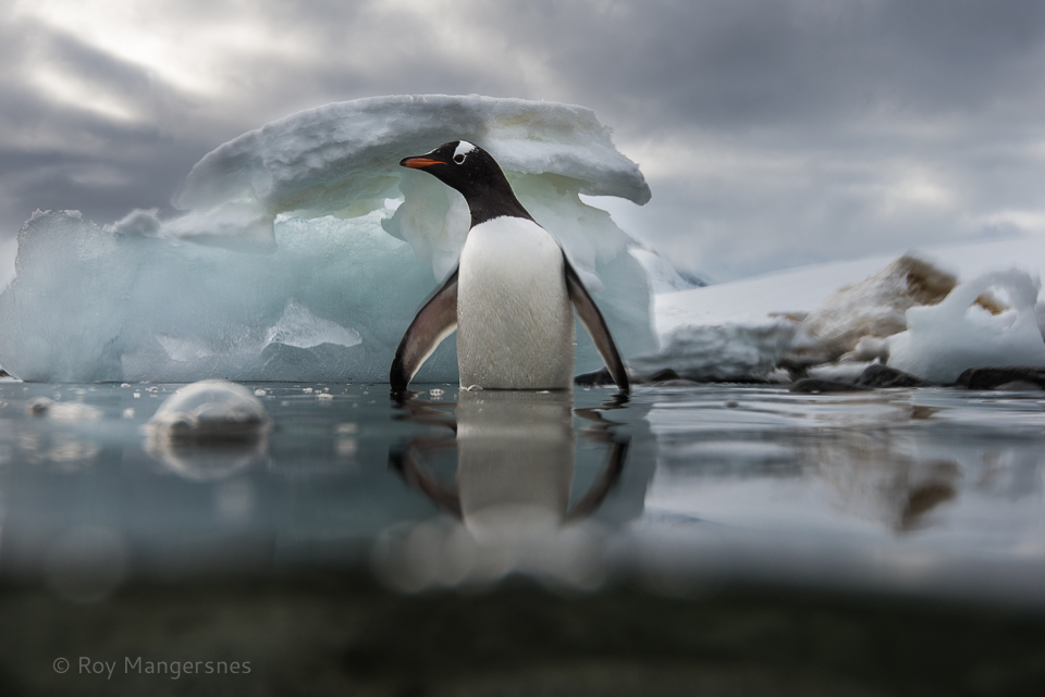 Gentoo stepping into water - D800, 16-35mm, 1/500 sec, f/8 @ ISO 140
