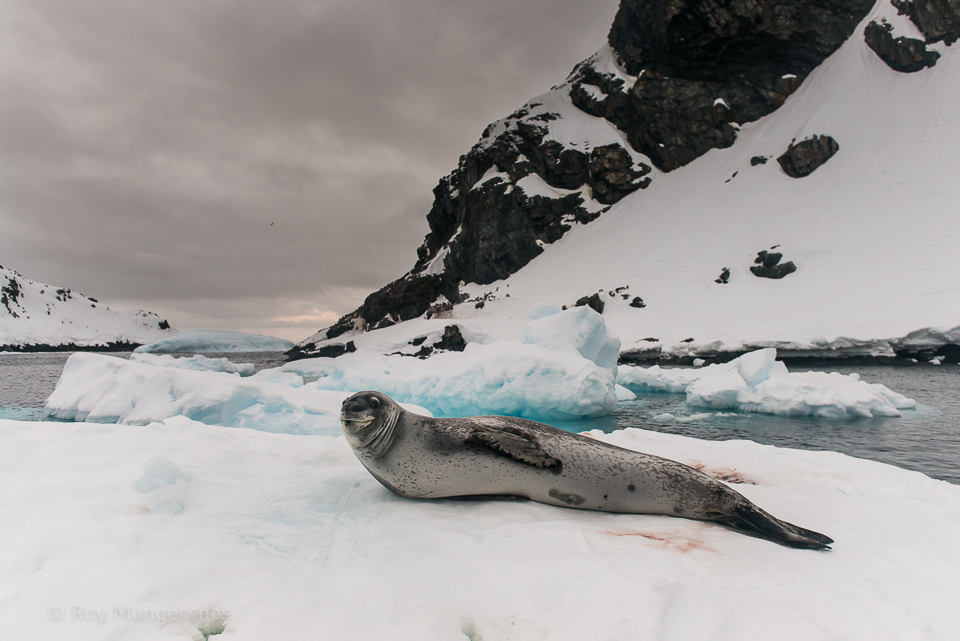 Leopard seal on an ice floe - D800, 24-70mm, 1/160 sec, f/3,5 @ ISO 400
