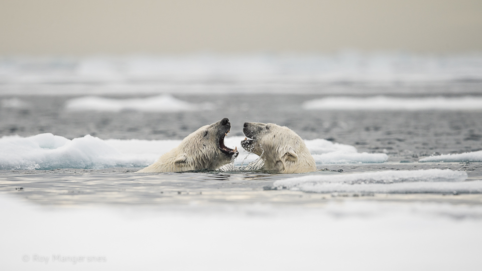 Polar bears flirting in the pack ice - D4, 800mm, 1/2500 sec, f/7,1 @ ISO640