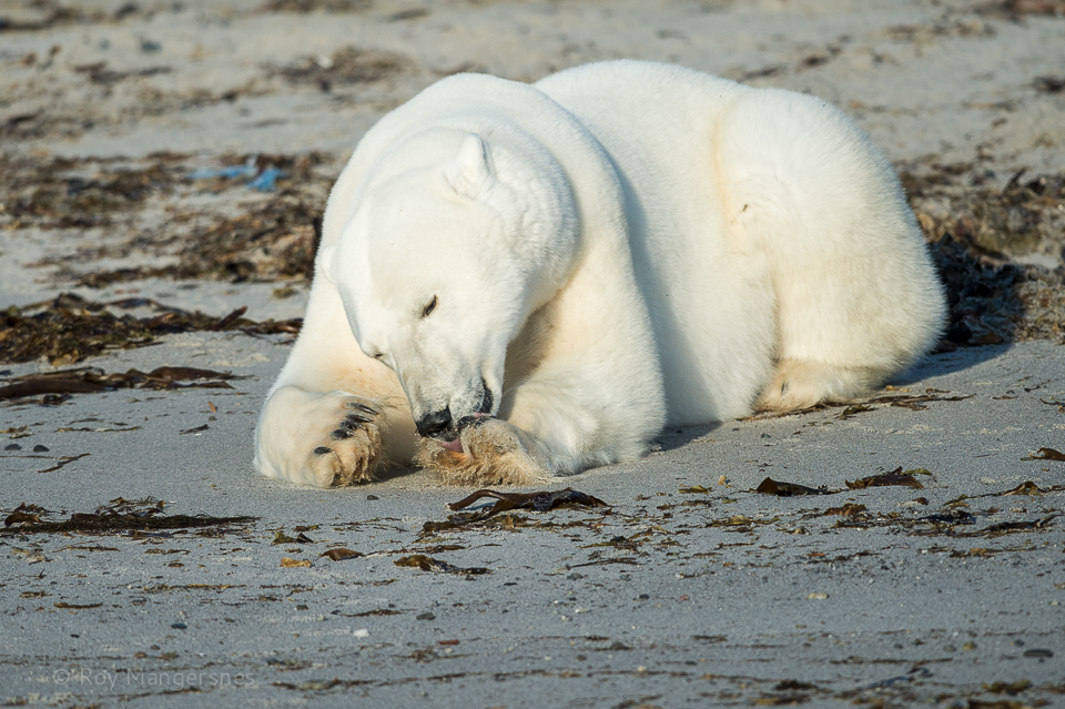 Polar bear on the beach - D4, 800mm, 1/2000 sec, f/5,6 @ ISO 500