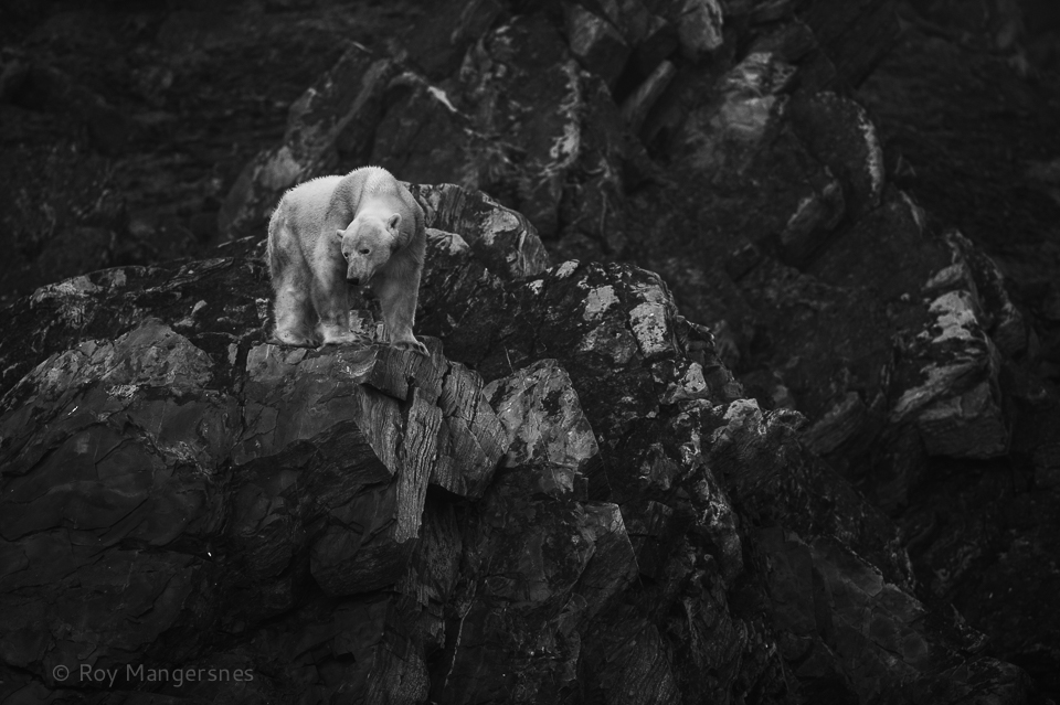 Starving Polar bear - D4, 300mm, 1/800 sec, f/4 @ ISO 1600