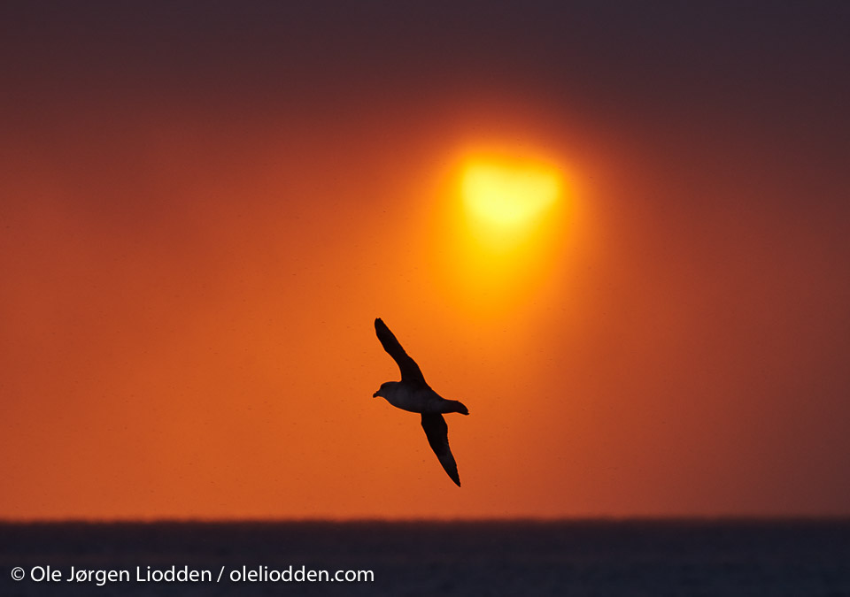 Sunrise Fulmar