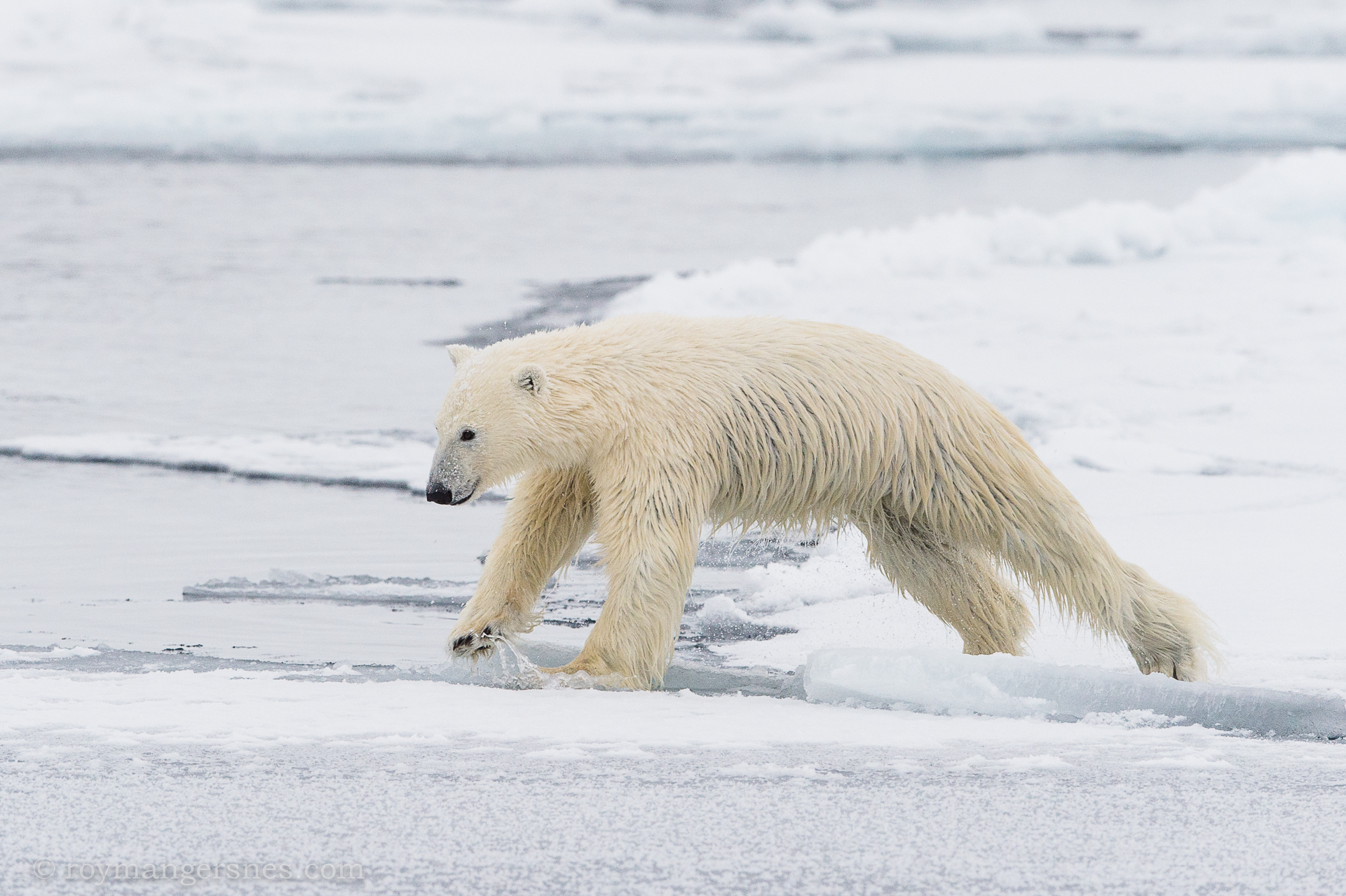 Polar bear Svalbard_winter3
