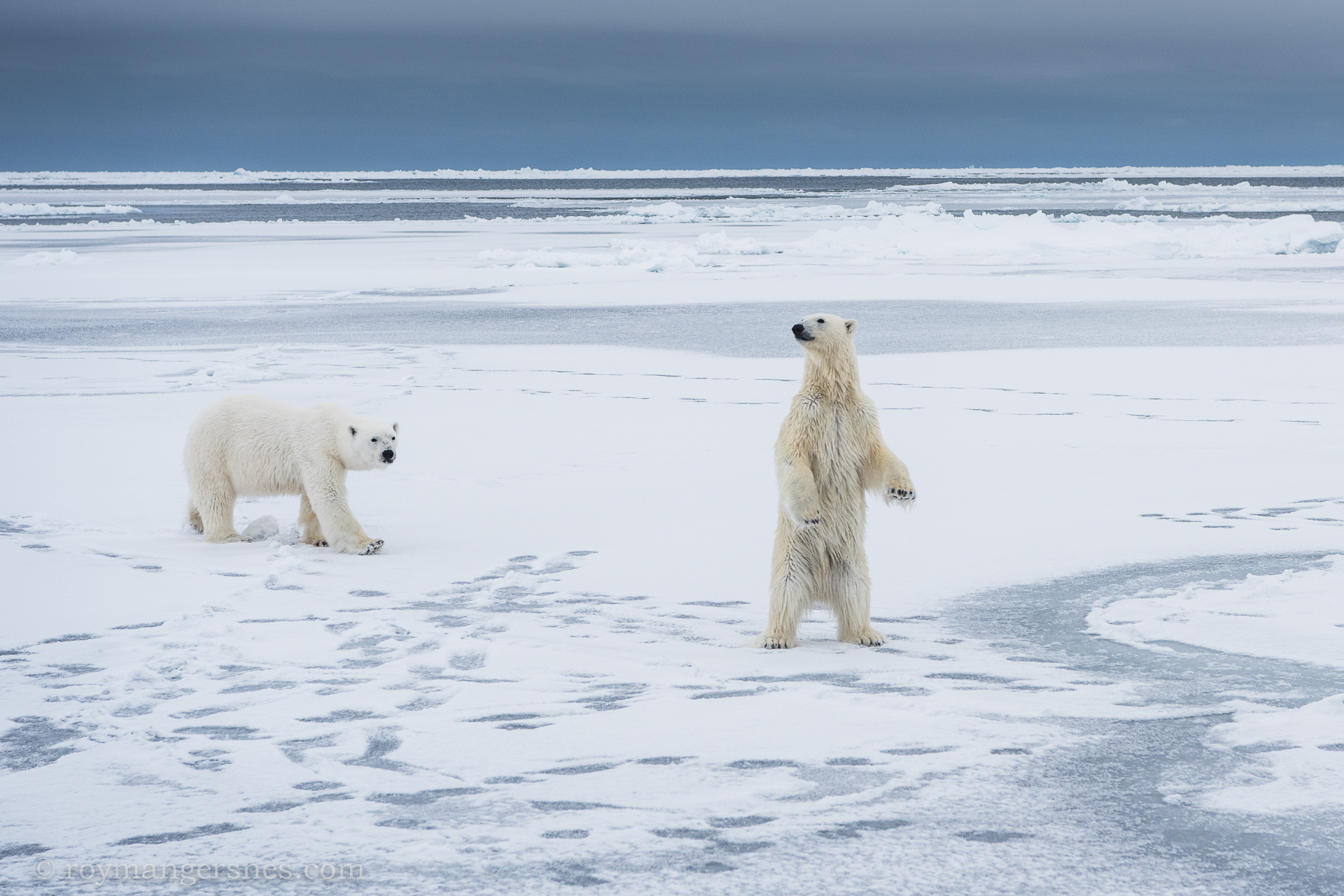 Polar bear Svalbard_winter4