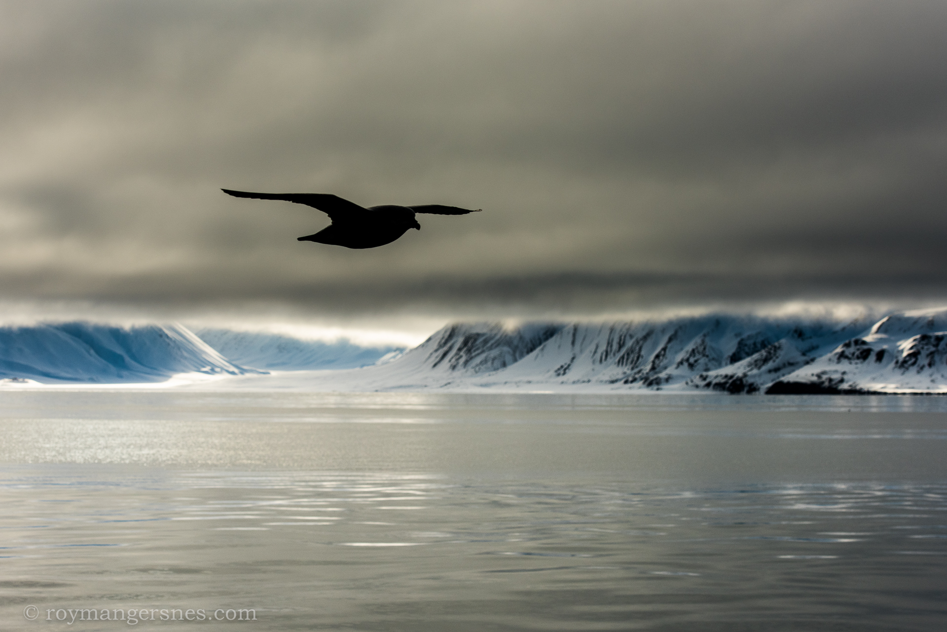 Svalbard Fulmar_Winter2