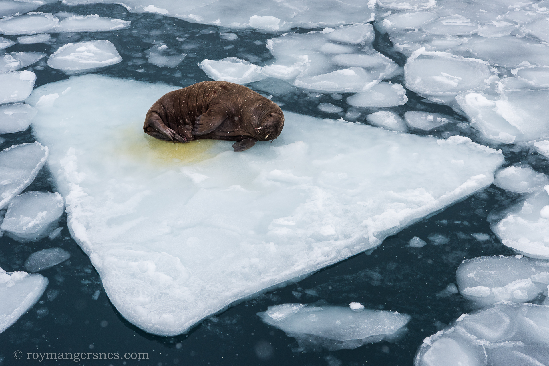 Svalbard Walrus_Winter3